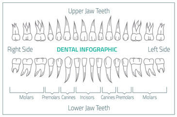 Teeth infographic 01 B-08