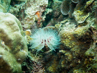 Feather Duster Worms - Sebellidae