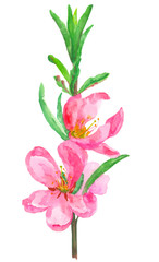 blossoming almond branch on a white background, watercolor illustration
