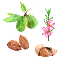 almonds on a white background, set of nuts and flowers isolated, watercolor illustration