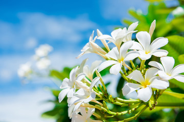 White plumeria with blue sky background