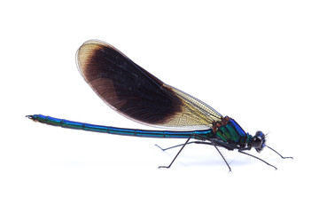 Male of Beautiful demoiselle (Calopteryx virgo) isolated on white
