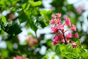 Blüte der fleischroten Rosskastanie