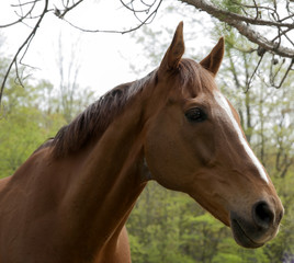 Portrait of old brown horse