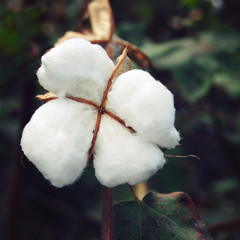 Cotton crop close up. Aged photo. Cotton flower in India. White fluffy cotton flower. Vintage effect photo. Cotton field in India.