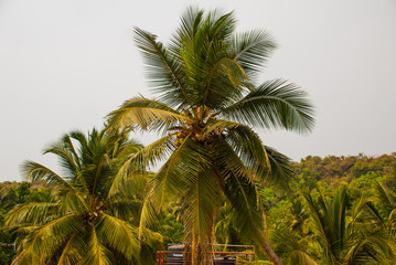 Coconut palms. Goa state, India.