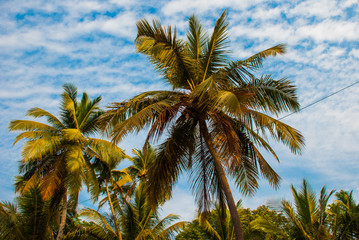 Coconut palms. Goa state, India.