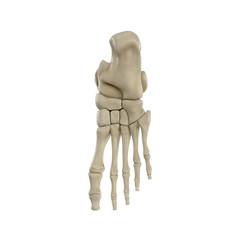 Human Skeleton Foot on White 3D Illustration