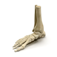 Human Skeleton Foot on White 3D Illustration