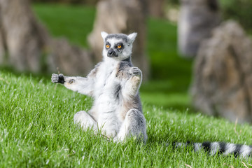 The ring-tailed lemur (catta)  is doing yoga under the sun.