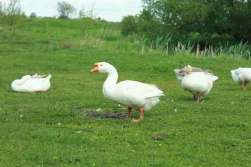 Белые гуси на зеленом лугу