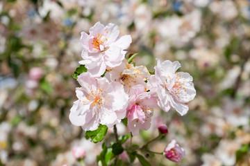 Peach blossom, branch, blue sky, full bloom