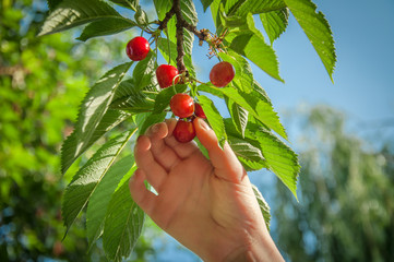 picking red cherry from the tree