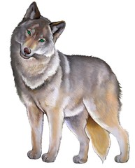 Illustration of cute standing gray wolf on the white background.
