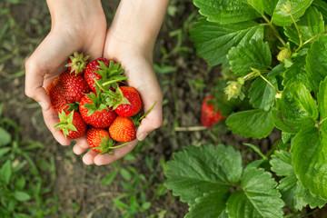 hands with fresh strawberries  in the garden