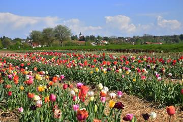 Fototapete - Tulpenfeld mit bunten Tulpen in ländlicher Gegend