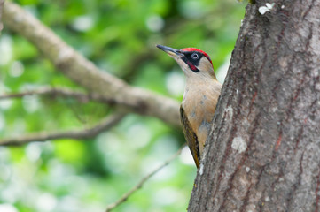 Male green woodpecker standing behind a tree trunk and looking