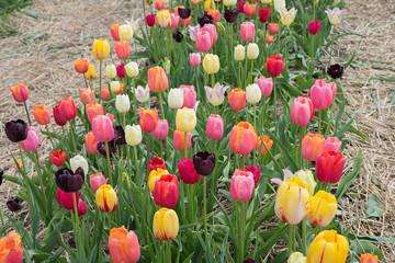 Fototapete - Reihe mit bunten Tulpen zum selber schneiden