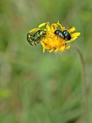 Paarung von Cryptocephalus sericeus und Cryptocephalus violaceus auf einer Blüte