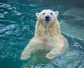 Polar bear swimming in water