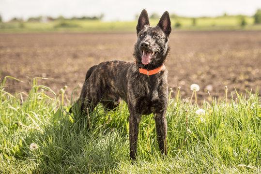 Hunde Portrait - kurzhaariger holländischer Schäferhund