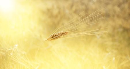 Spiga di grano con raggi di sole