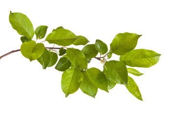 apple-tree branch with green leaves. Isolated on white backgroun