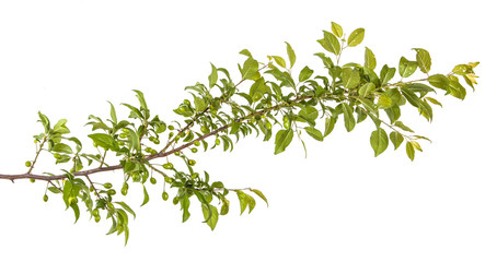 plum-tree branch with green leaves and berries. Isolated on whit