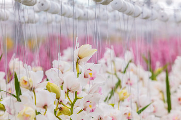 White orchids in a Dutch greenhouse