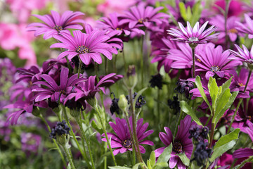 Purple daisies in a garden