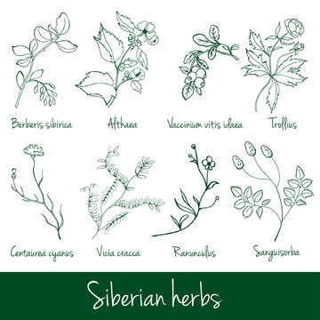 Vector collection of medical Siberian herbs