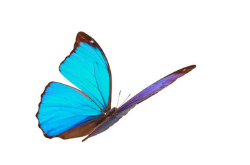 Blue tropical butterfly.
