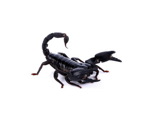 Emperor Scorpion ( Pandinus imperator) on white background