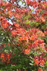 Alte Azalee blüht orange im Garten