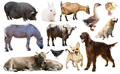 farm animals. Isolated over white