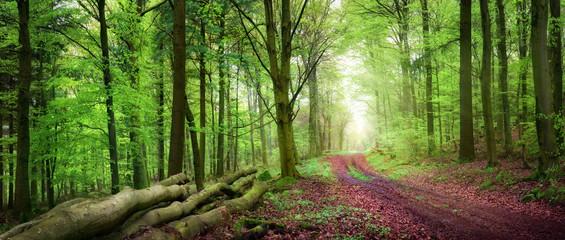 Wall Mural - Forstweg im grünen Wald bei sanftem Licht. Panorama