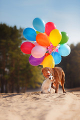 American staffordshire terrier dog and Dog Jack Russell Terrier jumps in the air to catch flying balloons