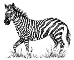 A cute zebra