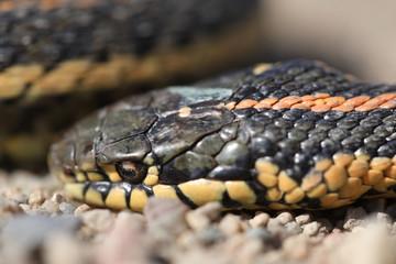 Dead garter snake on gravel road