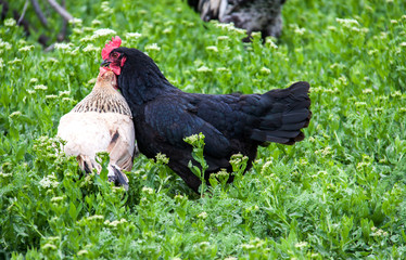 two hens fight in a meadow with green grass