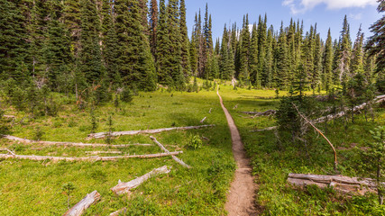 Trail in the spruce forest among felled trees. PALISADES LAKES TRAIL, Sunrise Area, Mount Rainier