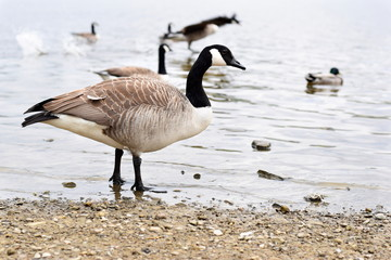 Canada Goose at Hollingworth Lake Waterfront 1
