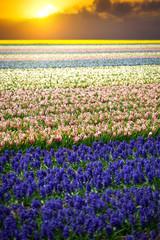 Hyacinth. Beautiful colorful pink, white, yellow and blue hyacin