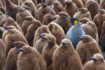 Ingelijste posters Pinguin Adult King Penguin (Aptenodytes patagonicus) standing amongst a large group of nearly fully grown chicks at Volunteer Point in the Falkland Islands.