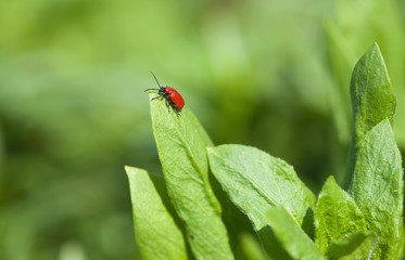 A bright red Lily Beetle on a leaf (Lilioceris lilii; leaf lily