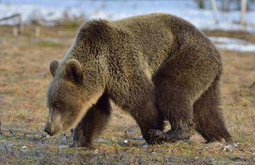 Brown Bear (Ursus arctos) in spring forest.