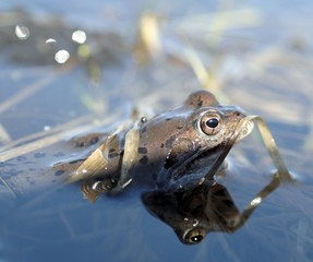 The common frog (Rana temporaria) mating, also known as the European common frog, European common brown frog, or European grass frog