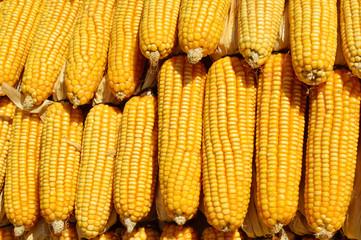Corn cob, close up