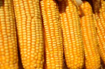 Corn cob, selective focus and close up