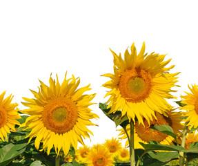 Sunflower field on white background